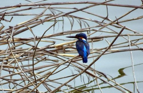 bird  common kingfisher  alcedo atthis