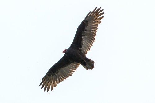 bird  flight  feathers