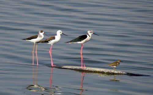 bird  black-winged stilt  common stilt