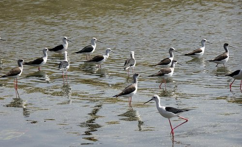 bird  black-winged stilt  flock