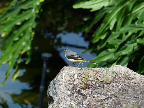 bird grey wagtail motacilla cinerea