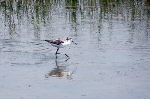 bird  marsh sandpiper  tringa stagnatilis