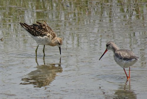 bird  ruff  calidris pugnax