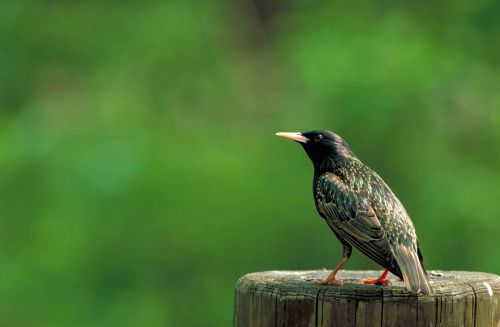 bird starling european