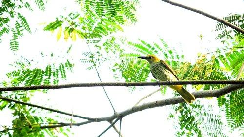 bird  avian  india