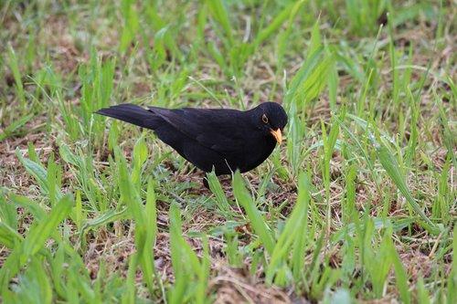 bird  black  toscana