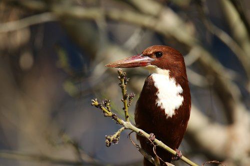 bird  white throated kingfisher  tree