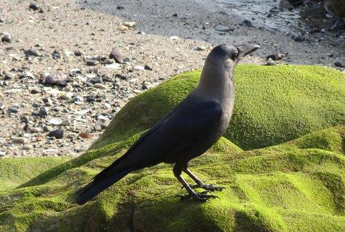 bird  crow  house crow
