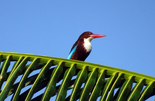 bird  kingfisher  white-throated kingfisher