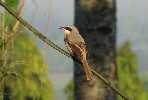 bird  brown shrike  lanius cristatus