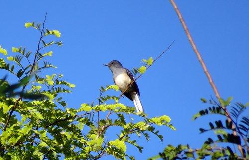 bird  magpie  robin