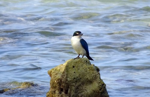 bird  kingfisher  andaman collared kingfisher