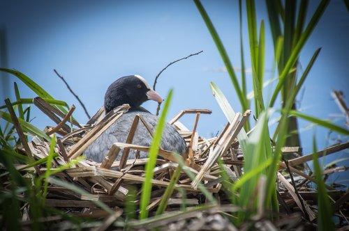bird  breeding bird  nest