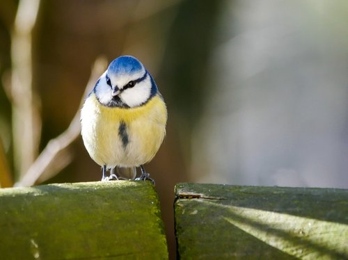 bird  tit  songbird