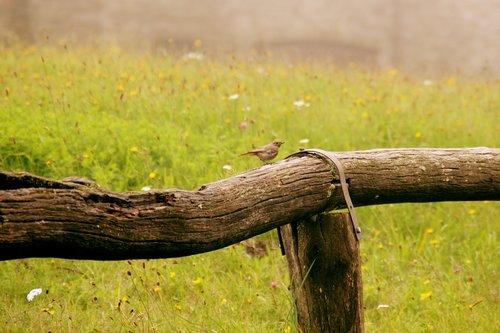 bird  rotschwaenzchen  fence
