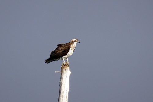 bird  osprey  western osprey