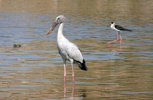 bird  stork  asian openbill