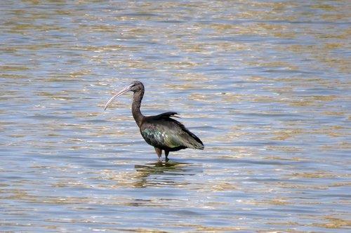bird  glossy ibis  wader