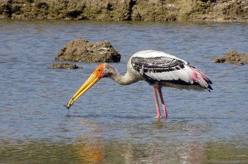 bird  stork  painted stork
