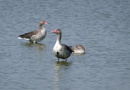bird  goose  greylag goose