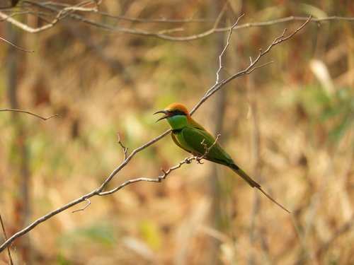 bird  bee-eater  nature