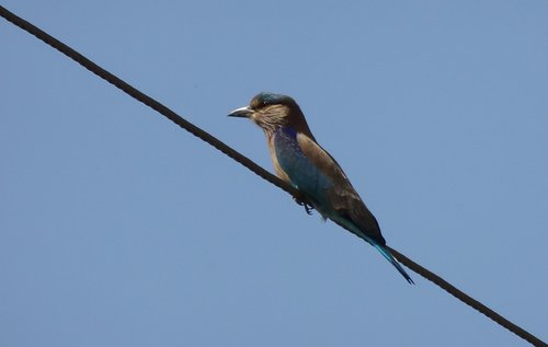 bird  roller  indian roller