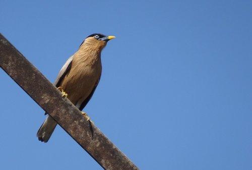 bird  myna  mynah