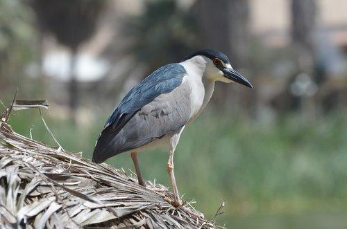 bird  huacachina  peru