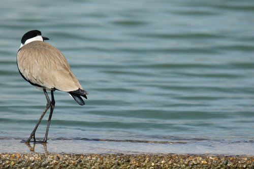 bird  spur winged lap winged  nature
