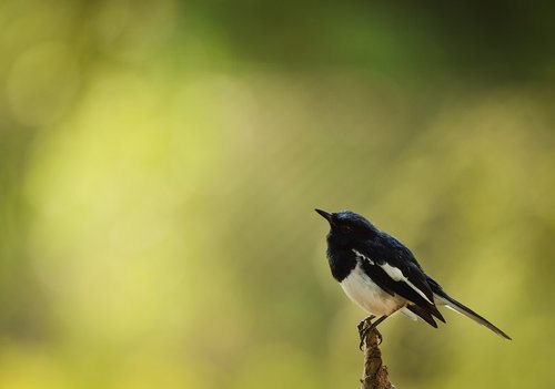 bird  magpie robin  india