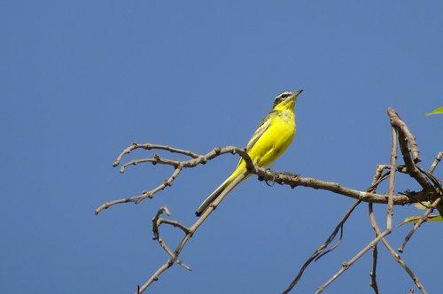 bird  western yellow wagtail  motacilla flava