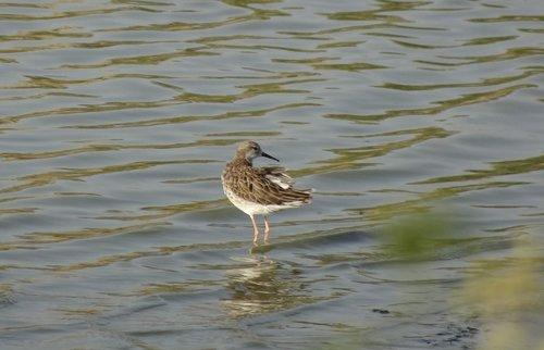 bird  ruff  calidris pugnax