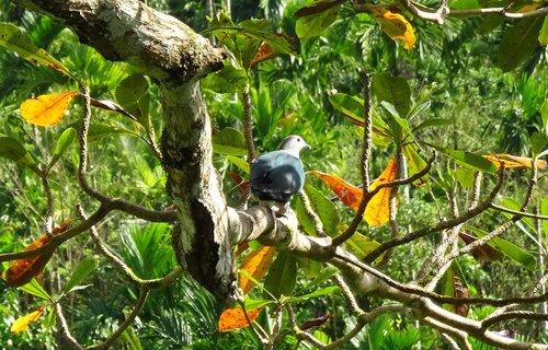 bird  pigeon  andaman green pigeon