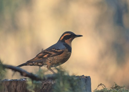 bird  varied thrush  birding