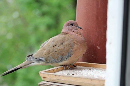 bird  the neck  pigeons