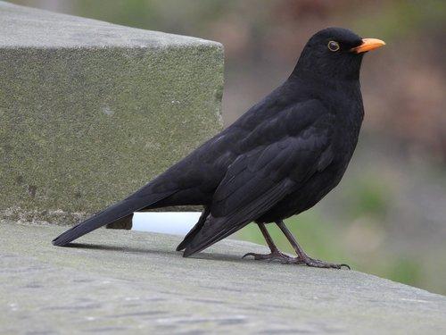 bird  kos regular  black