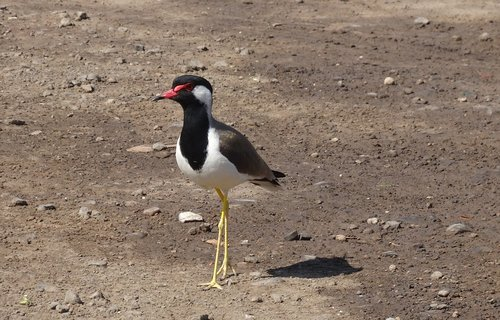 bird  red-wattled lapwing  vanellus indicus