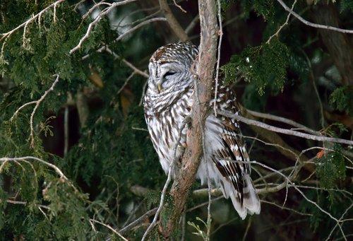 bird  owl  barred