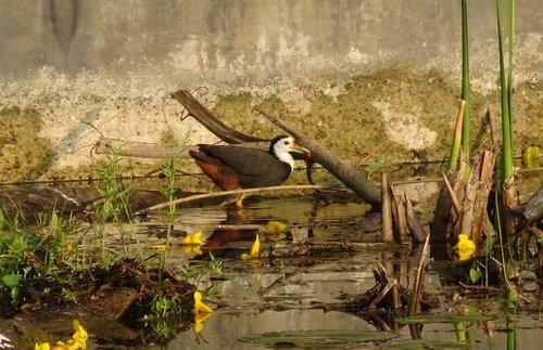 bird  white-breasted waterhen  amaurornis phoenicurus