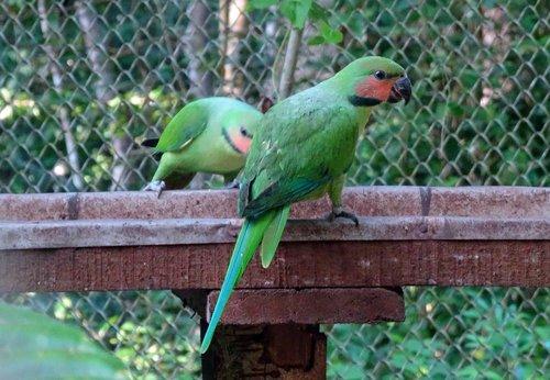 bird  parrot  long-tailed parakeet