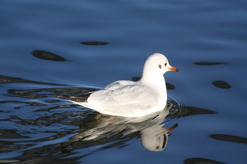 bird  animal  gull