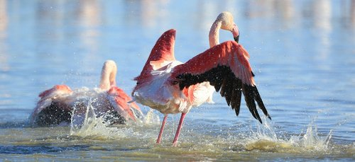 bird  pink flamingo  nature