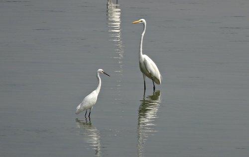 bird  egret  little