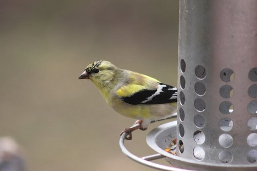 bird  goldfinch  nature