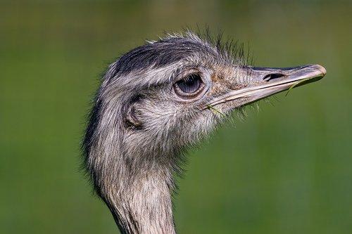 bird  rhea bird  zoo