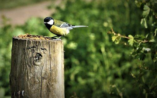 bird  yellow tit  tit