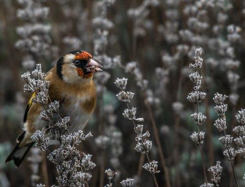 bird  goldfinch  lilac