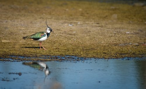 bird  lapwing  colourful
