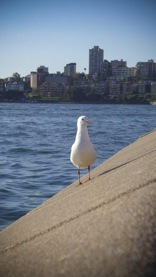 bird  sea gull  silver gull