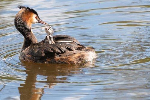 bird  water  waterfowl
